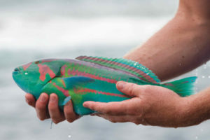 A Parrot fish - Hooked off Mission Rocks